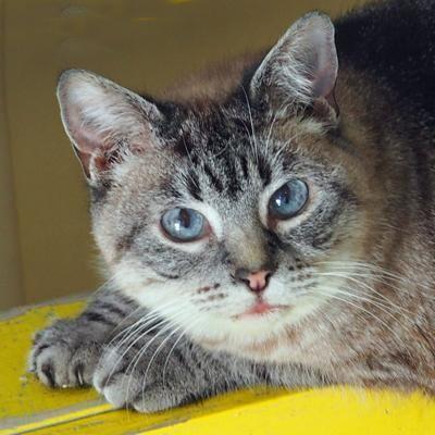 Adopt Mason on Grey cats, Cats, Australian cattle dog