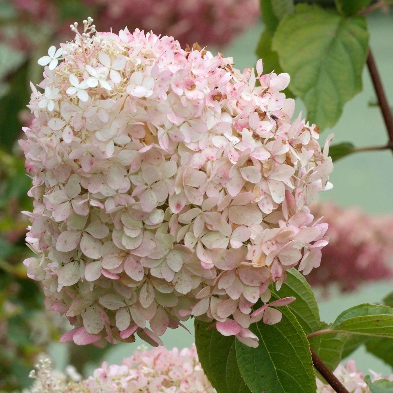 pee gee Hydrangea paniculata Phantom - - Dobbies Garden Centres ...