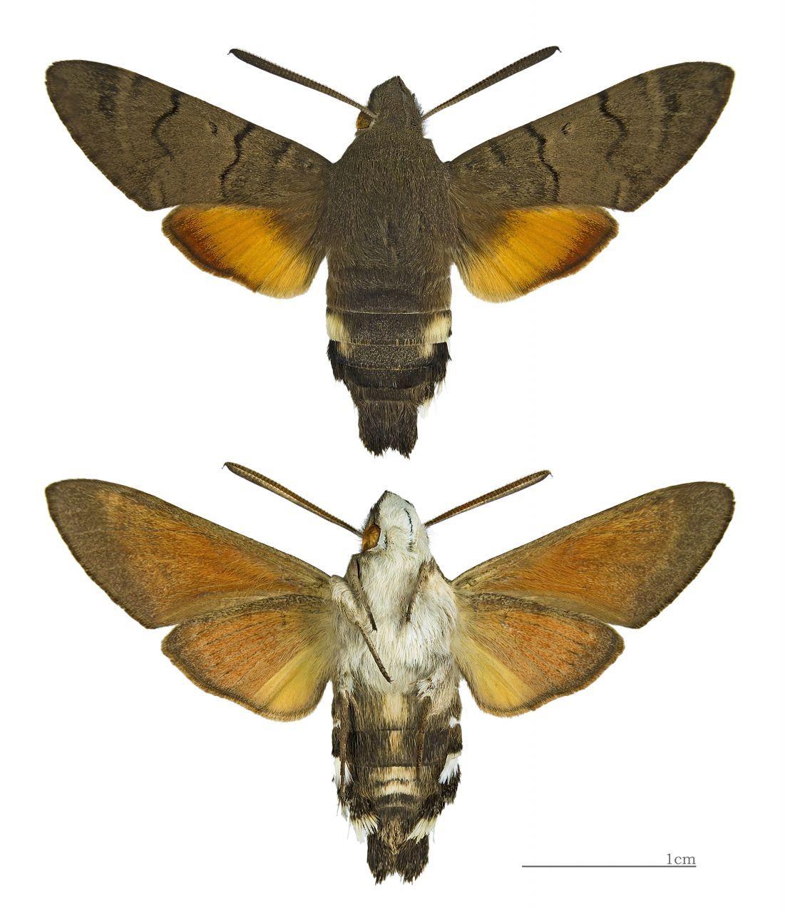Featured Creature Hummingbird HawkMoth Hawk moth, Moth