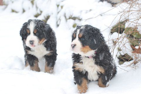 Two Bernese Mountain Dog Puppies in the Snow!