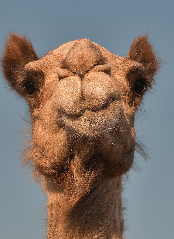 Chewing? | Camels | Pinterest | Naturaleza