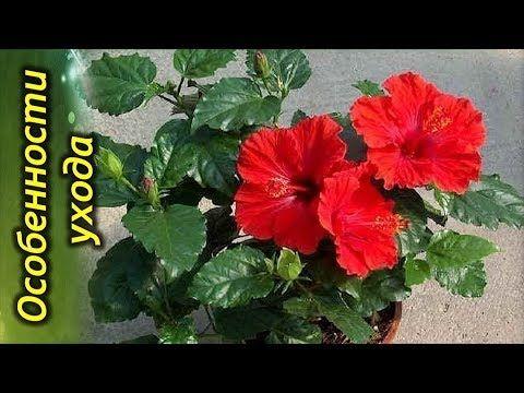 YouTube   Гибискус, Цветы гибискуса, Розы