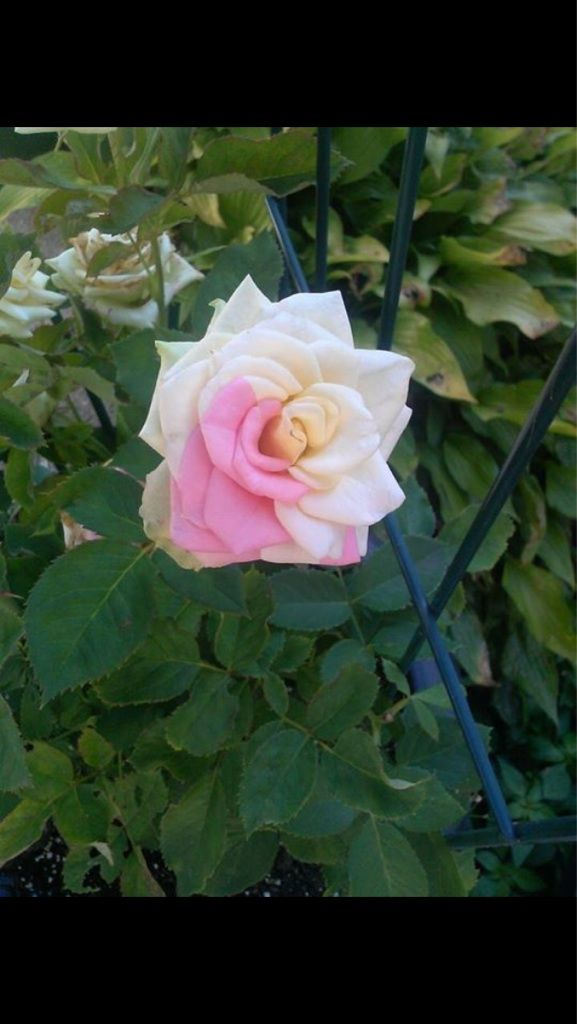 Two tone rose.
