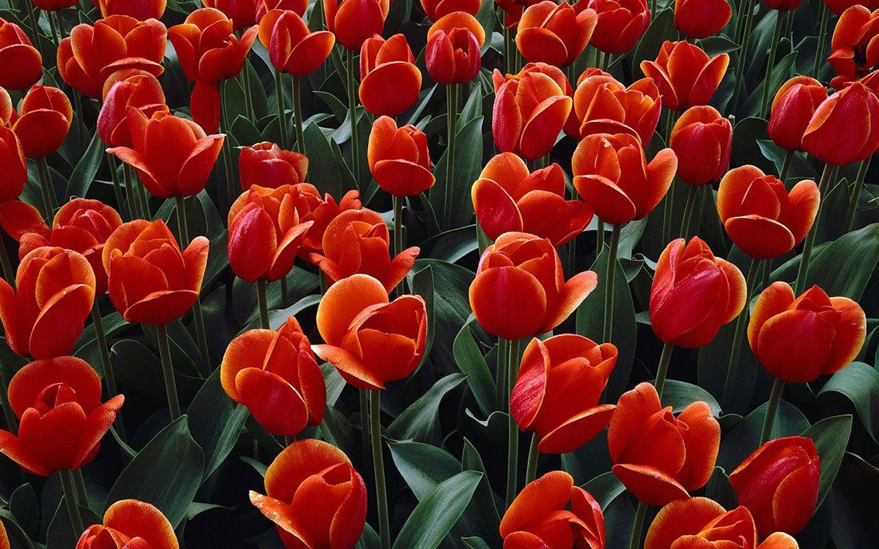 Red Tulip Wallpaper Flower Wallpapers Free Download Wallpapers Windows Xp Desktop Wallpapers Windows7 Desktop Wall Flowers Blooming Flowers Amazing Flowers