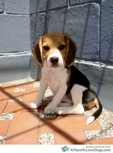 Little Juana 3 Months 1 Repin 1 Beagle Puppy Beagle Dog Cute Dogs