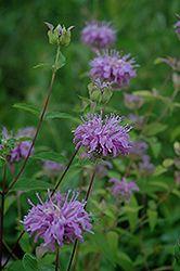 Wild Beebalm (Monarda fistulosa)/4 feet x 3 feet spread/can plant in spring or fall