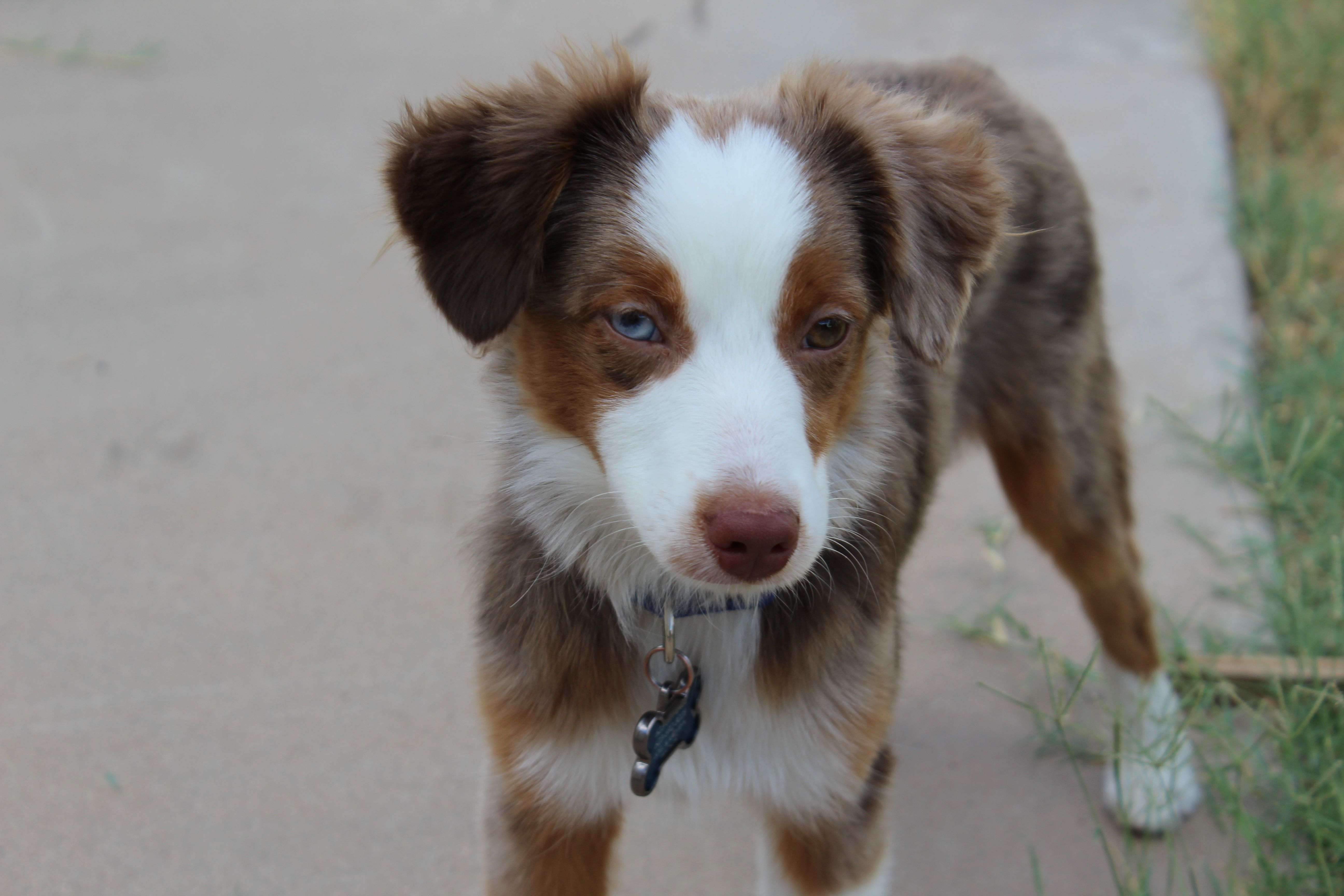 Miniature American Shepherd Red Merle Blue Brown Eyes Link Miniature American Shepherd American Shepherd Dog Breeds