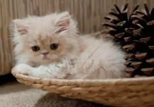10 Most Popular Flat Faced Cat Breeds In The World Kittens