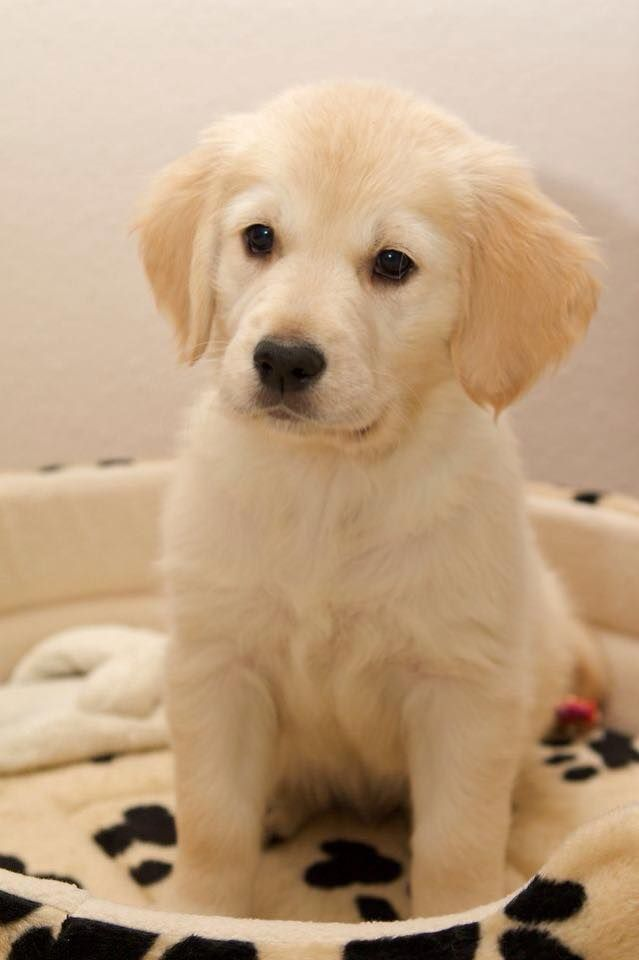 Cute Golden Retriever Puppy Awww Cute Baby Animals Cute Dog