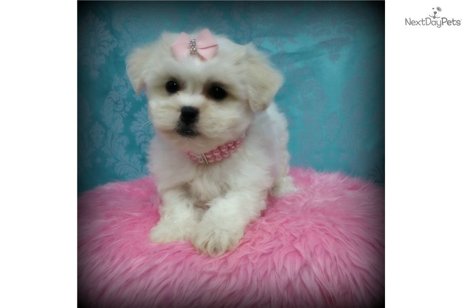 Pin On Designer Puppies For Sale