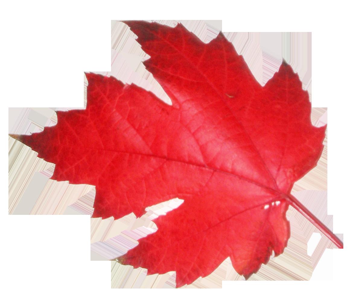 Maple Leaf Png Image Png Images Image Red Leaves