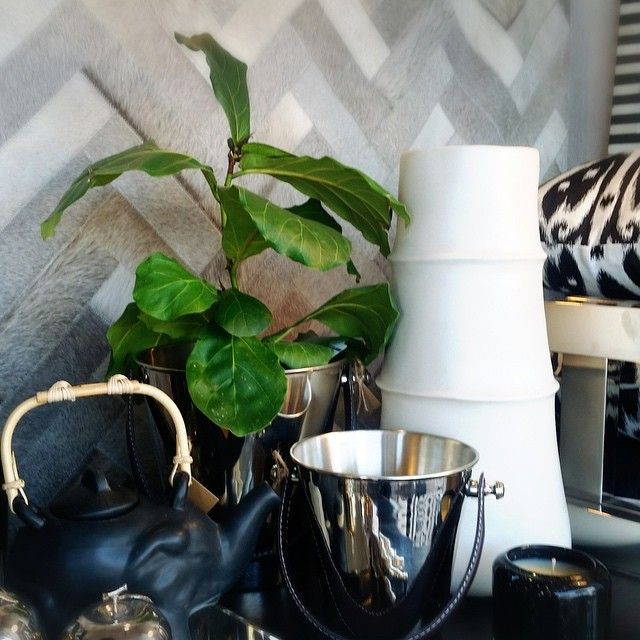 This is our resident fiddle leaf he's new around here but he loves all the attention in the window! #DesignRevival #HenleyBeach #InteriorDesign #InteriorDecoration #Homewares #HomeDecor #HomeDesign #Gifts #Giftware #FiddleLeafFig #Newbie by designrevival http://discoverdmci.com