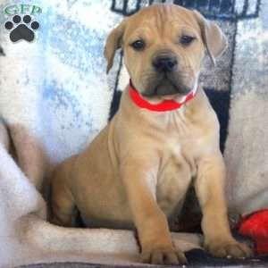 African Boerboel Puppies For Sale Boerboel Pups Puppies