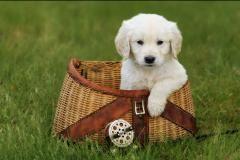 Golden Retriever Puppies For Sale Breeder In Minnesota Tails