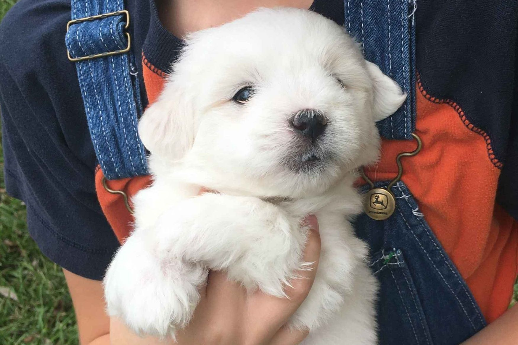 Bichon Frise Puppies For Sale Greenfield Puppies Bichon Frise Puppy Bichon Frise Dogs Bichon