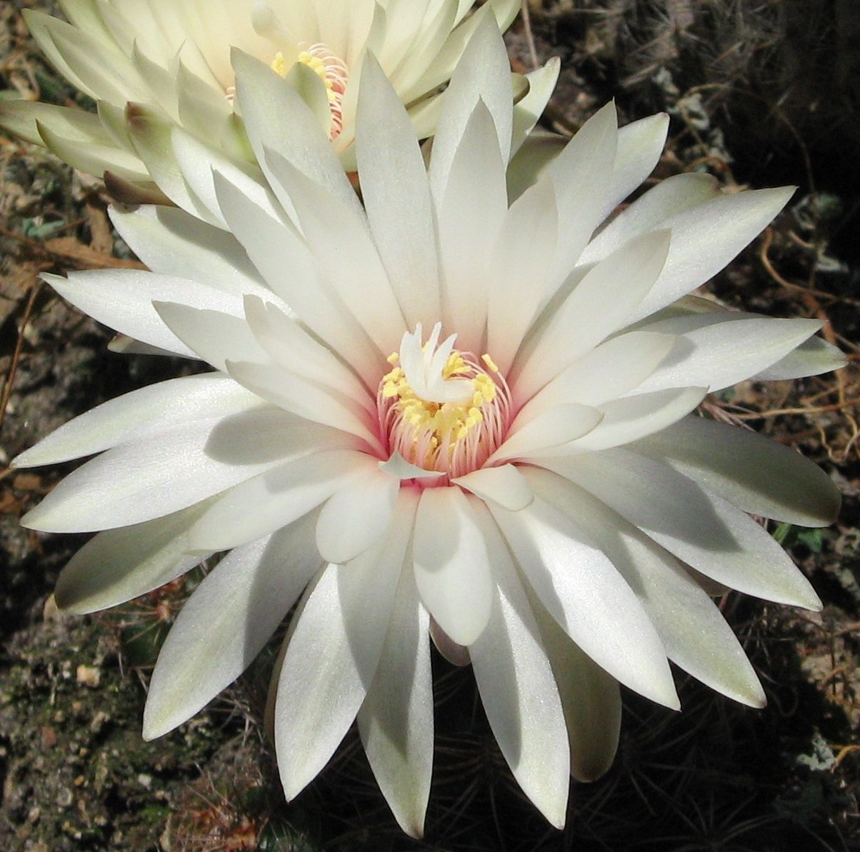 Cactus Flower White Cactus Flower Flowers 4 Pinterest