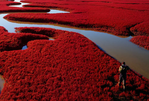 This Amazing Red Beach In China Exactly Located In Liaohe
