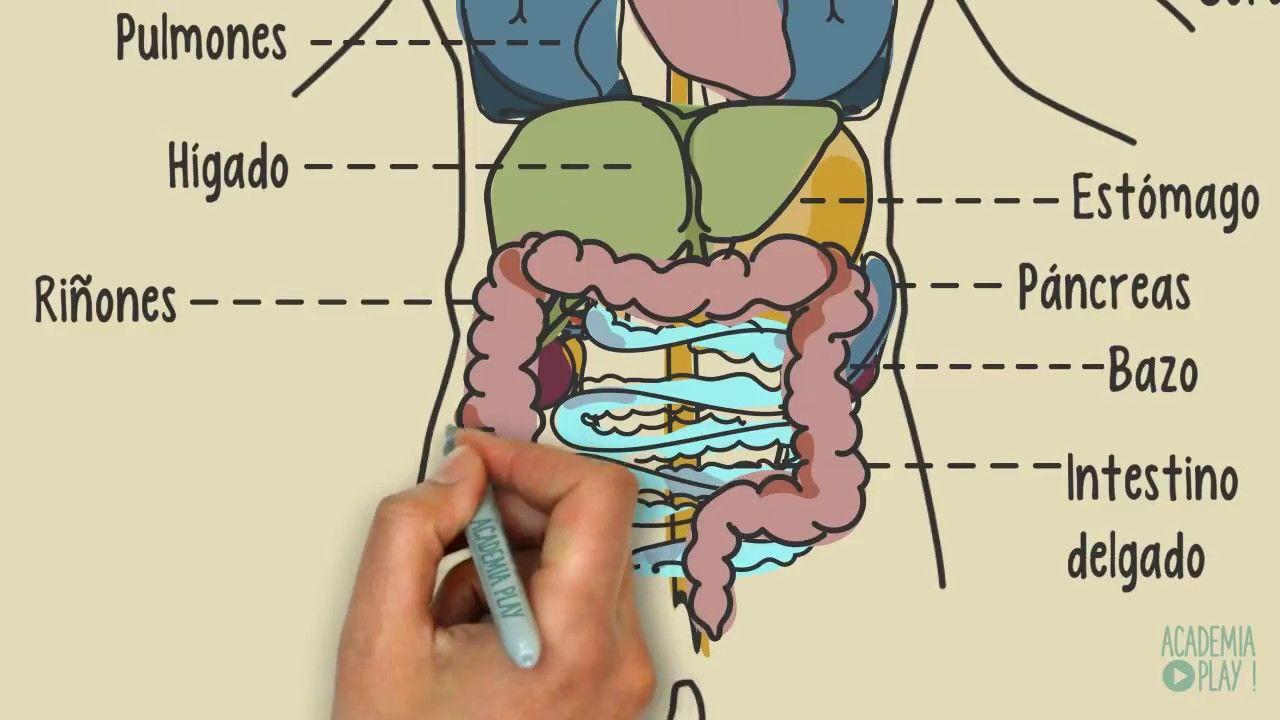 órganos Del Cuerpo Humano Organos Del Cuerpo Humano Cuerpo Humano Cuerpo Humano Anatomia