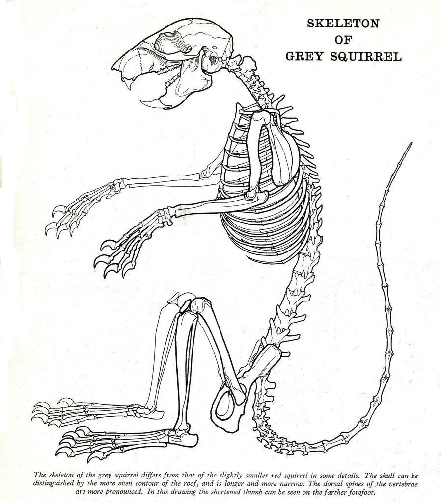 squirrel organ diagram