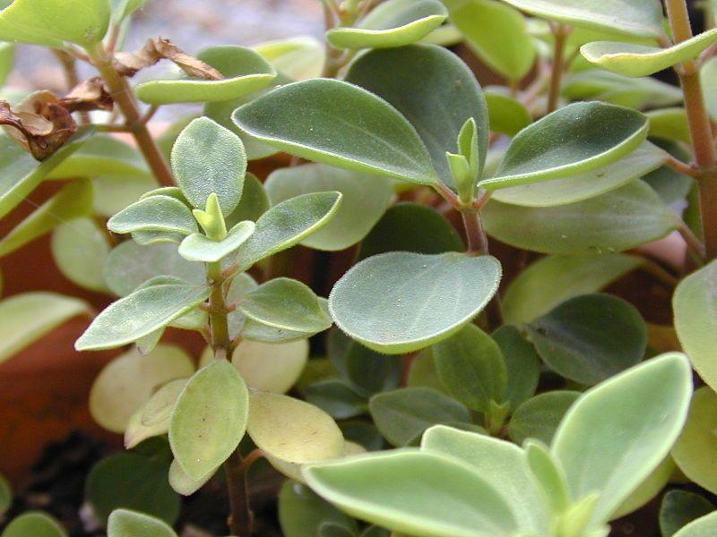 Peperomia növényi profil