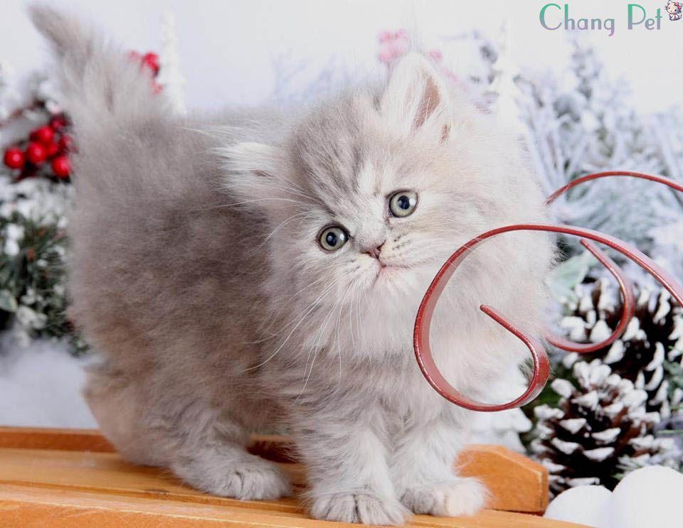 Persian 10 Persian kittens, Persian cat doll face