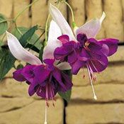 Deep Purple Fuchsia Plant