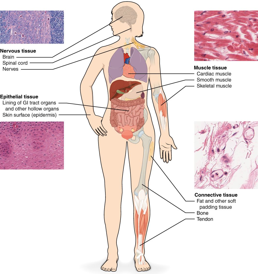 Connective Tissue Muscle Tissue Epithelial Tissue Nervous