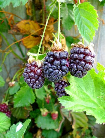 Youngberry is a complex hybrid between three different ...