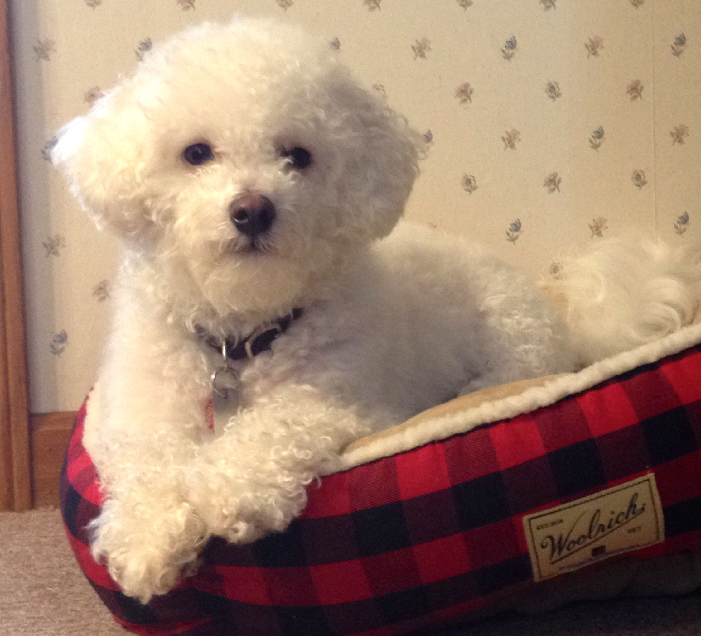 This Is Aspen Our Little Bichon Frise Who Is The Inspiration To