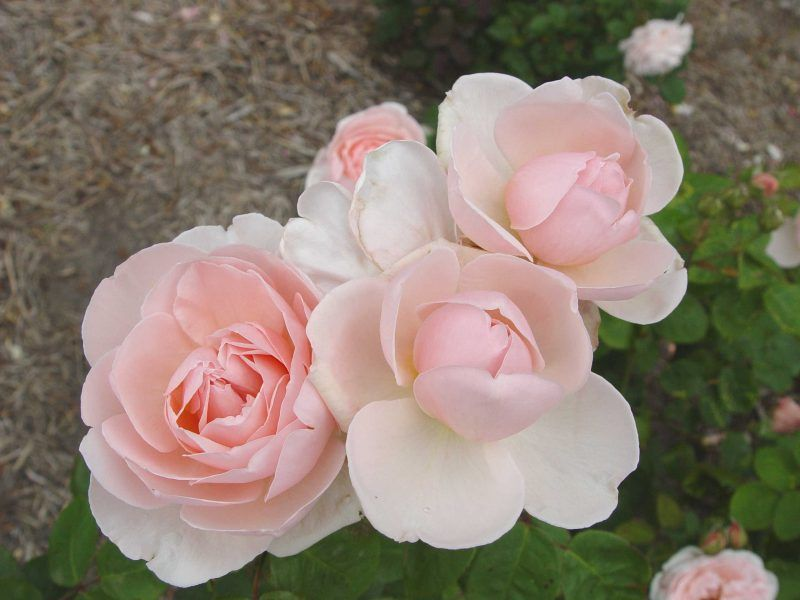 Chaucer rose, repeat flowering, old