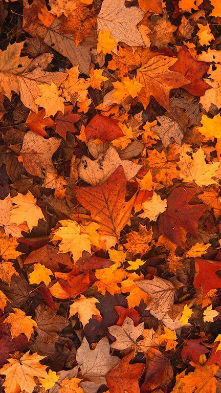 Fall Foliage #falliphonewallpaper