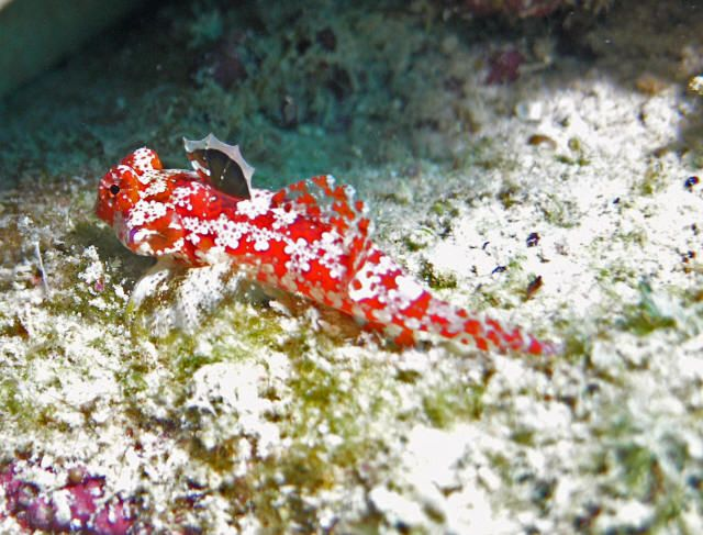 Dragonet Species Moyer S Dragonet Is A Brilliant And Little Known Species Of Red Saltwater Aquarium Fish Marine Aquarium Saltwater Aquarium