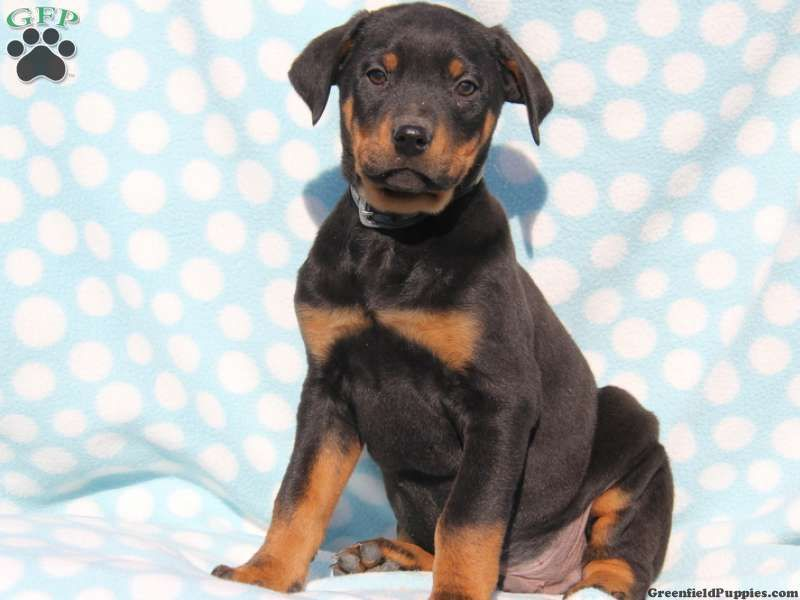 Rotterman Puppies For Sale Rotterman Breed Info Rottweiler