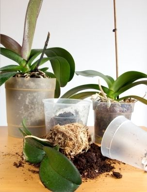 repotting orchids gardening transplanting orchids orchids orchid care. Black Bedroom Furniture Sets. Home Design Ideas