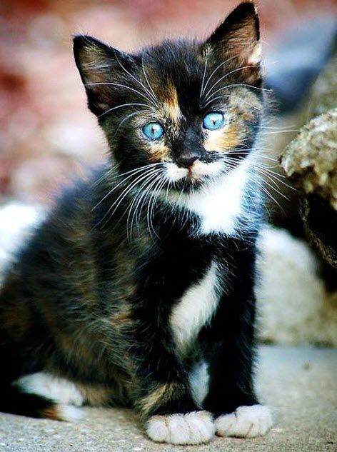 This beautiful kitten has got incredible blue eyes don't you think?