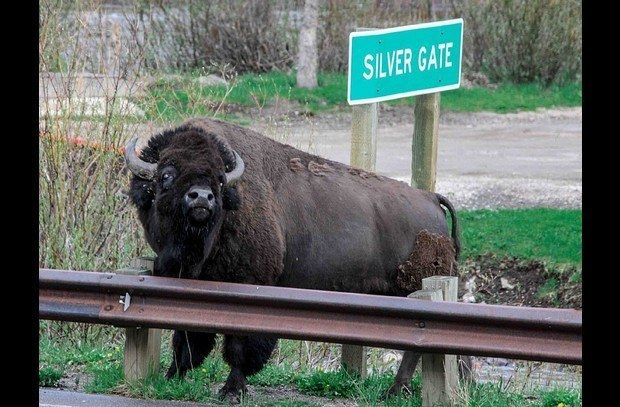 This bison points you to your cabin - directly across from the Silver Gate sign.