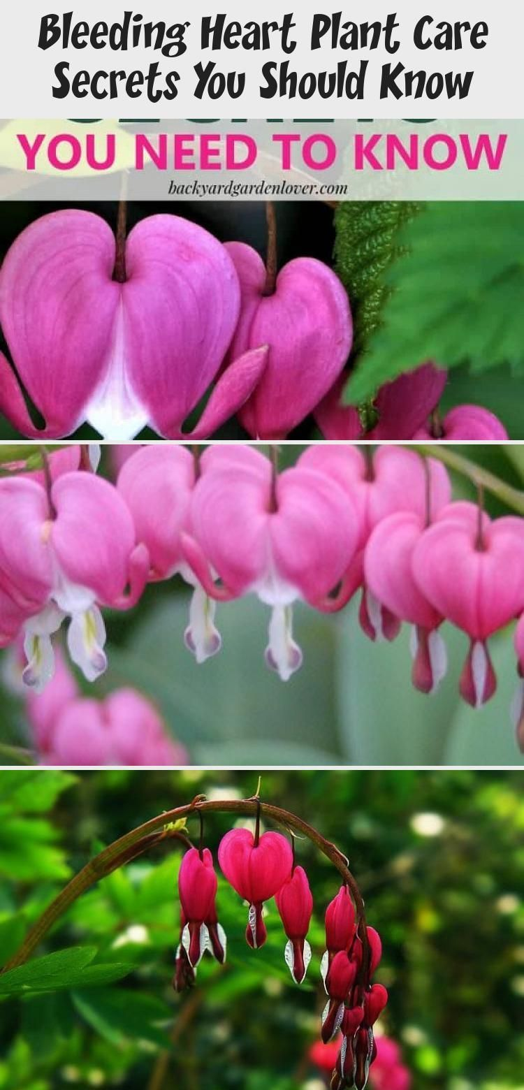 Add Some Beautiful Bleeding Heart Flowers To Your Landscape Or Some Hanging Baskets On Your Porch Th In 2020 Bleeding Heart Flower Plant Care Beautiful Flowers Garden