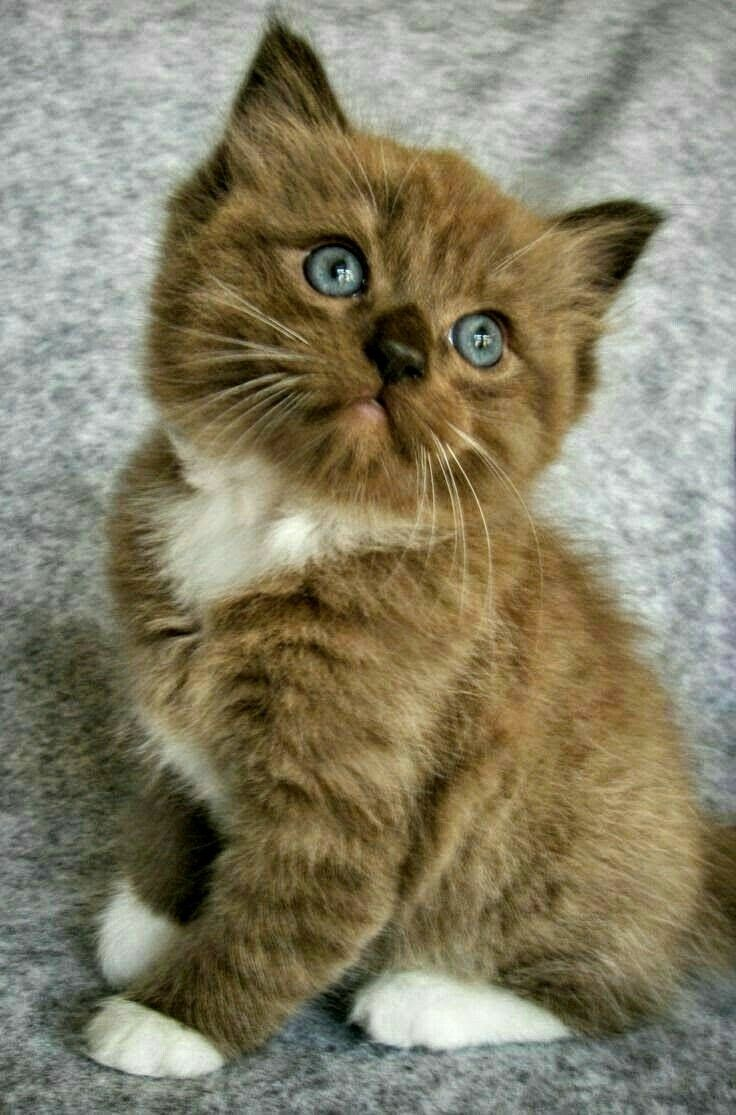 Pin by Mary Beth on Cats Breeds Cute cat breeds, Kittens