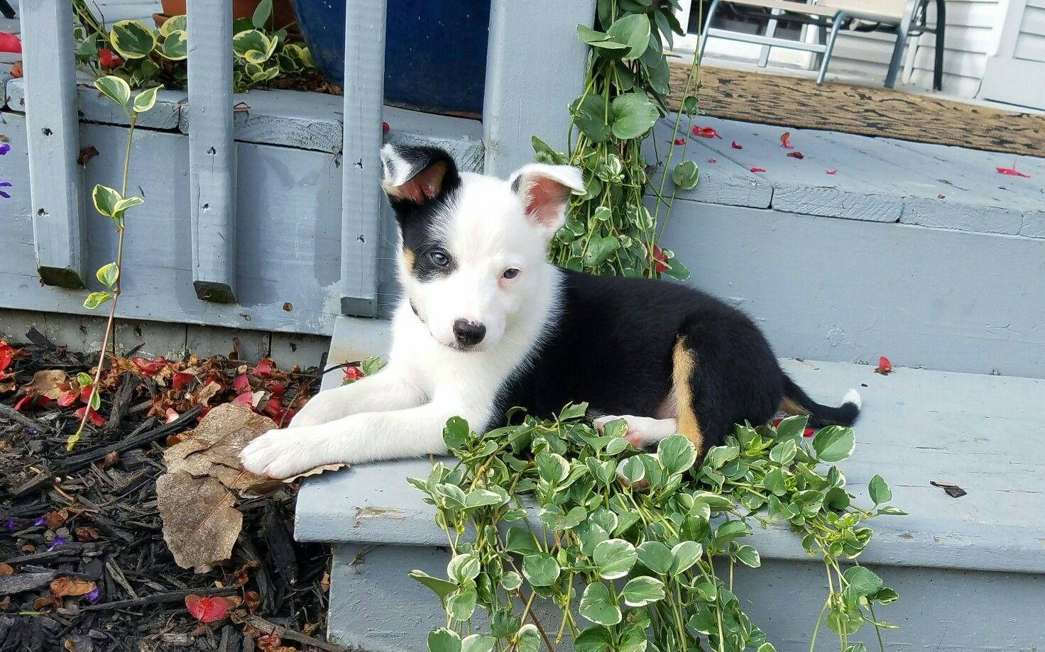 Bandit Smooth Coated Border Collie Puppy 8 Weeks Old Collie