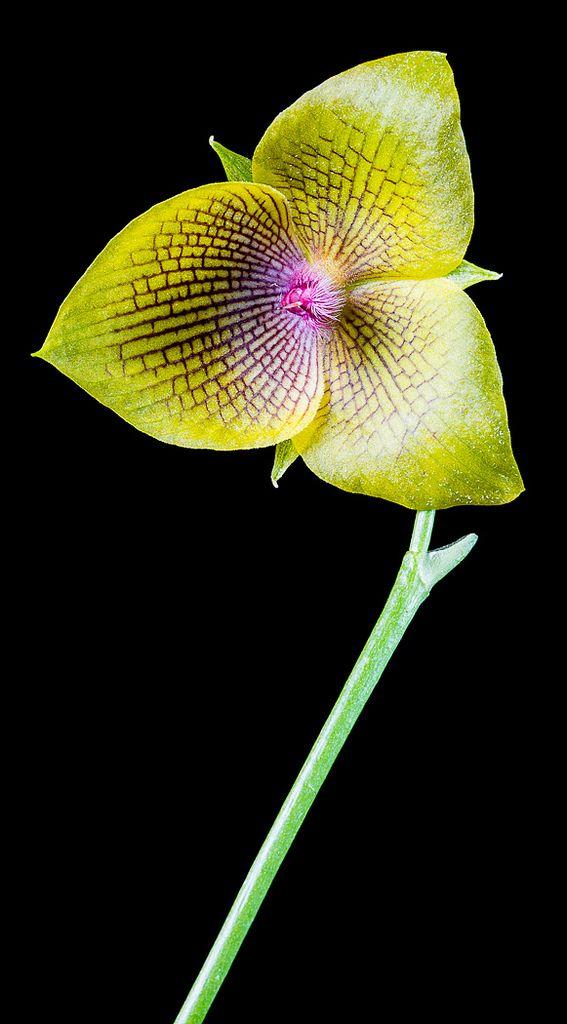 Orchid | Telipogon sp. | by PenduSeb