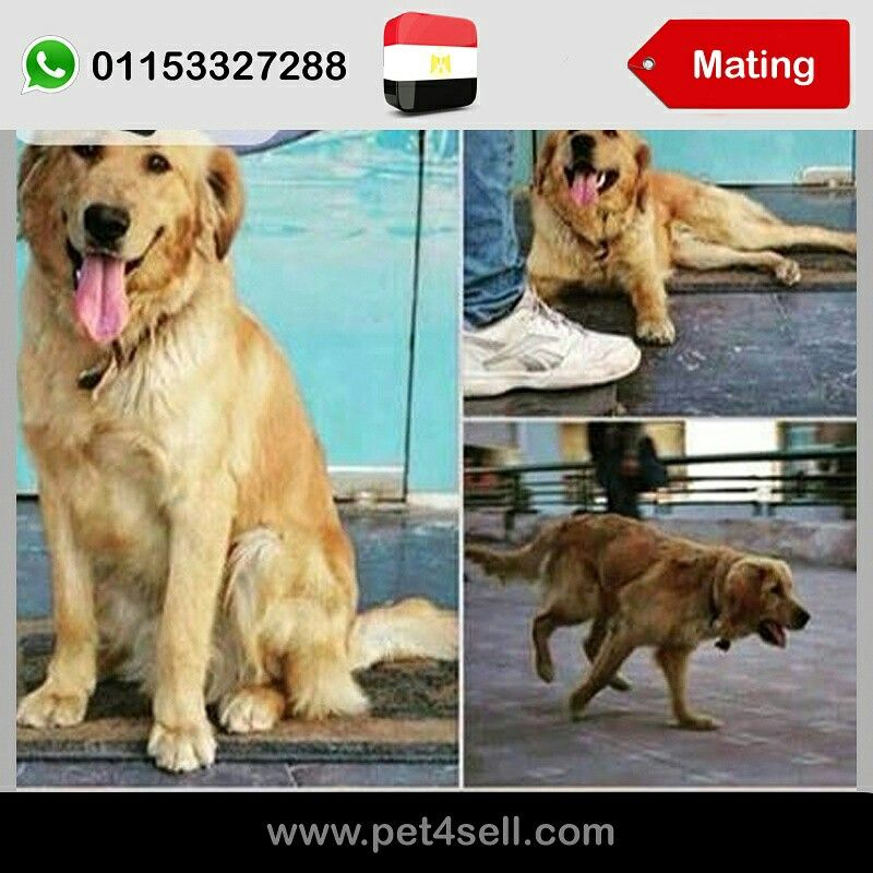 Egypt Cairo Golden Retriever 1 Year For Mating Male Cairo El