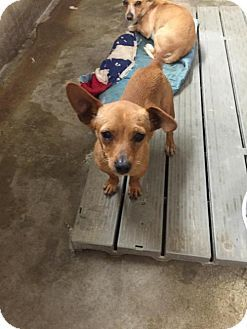 Seattle Wa Dachshund Chihuahua Mix Meet Freddie Cute