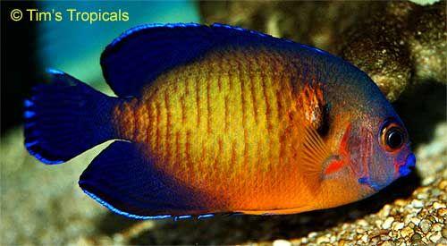 Coral Beauty Angelfish Coral Beauty Angelfish Centropyge Bispinosa Angel Fish Salt Water Fish Underwater Pictures