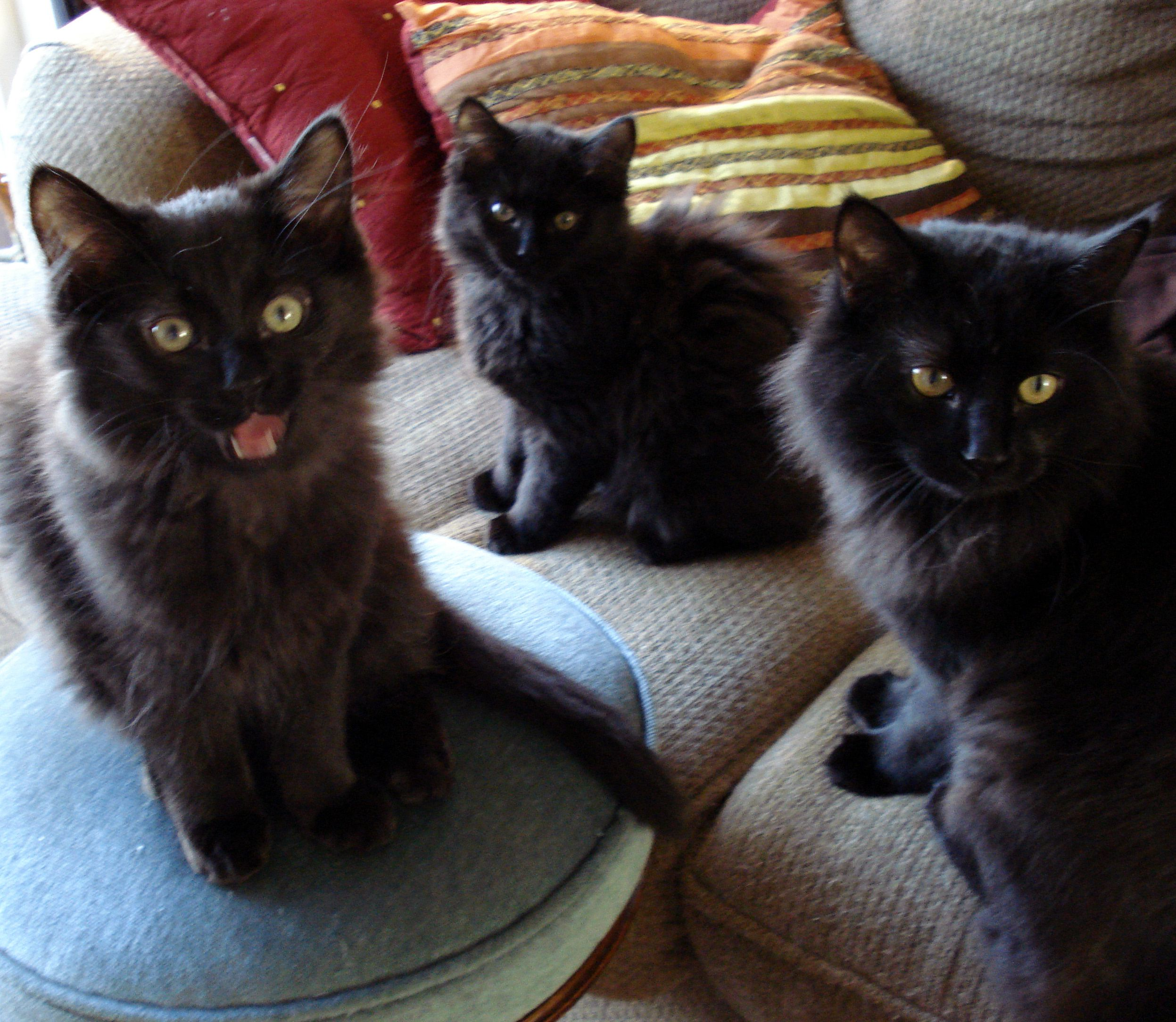 3 Of My Troublemakers Buster Petey And Laila Looks Like Buster Is Saying Hey Mom Why Are You Posting Our Pics On Pint Puppies And Kitties Black Cat Cats