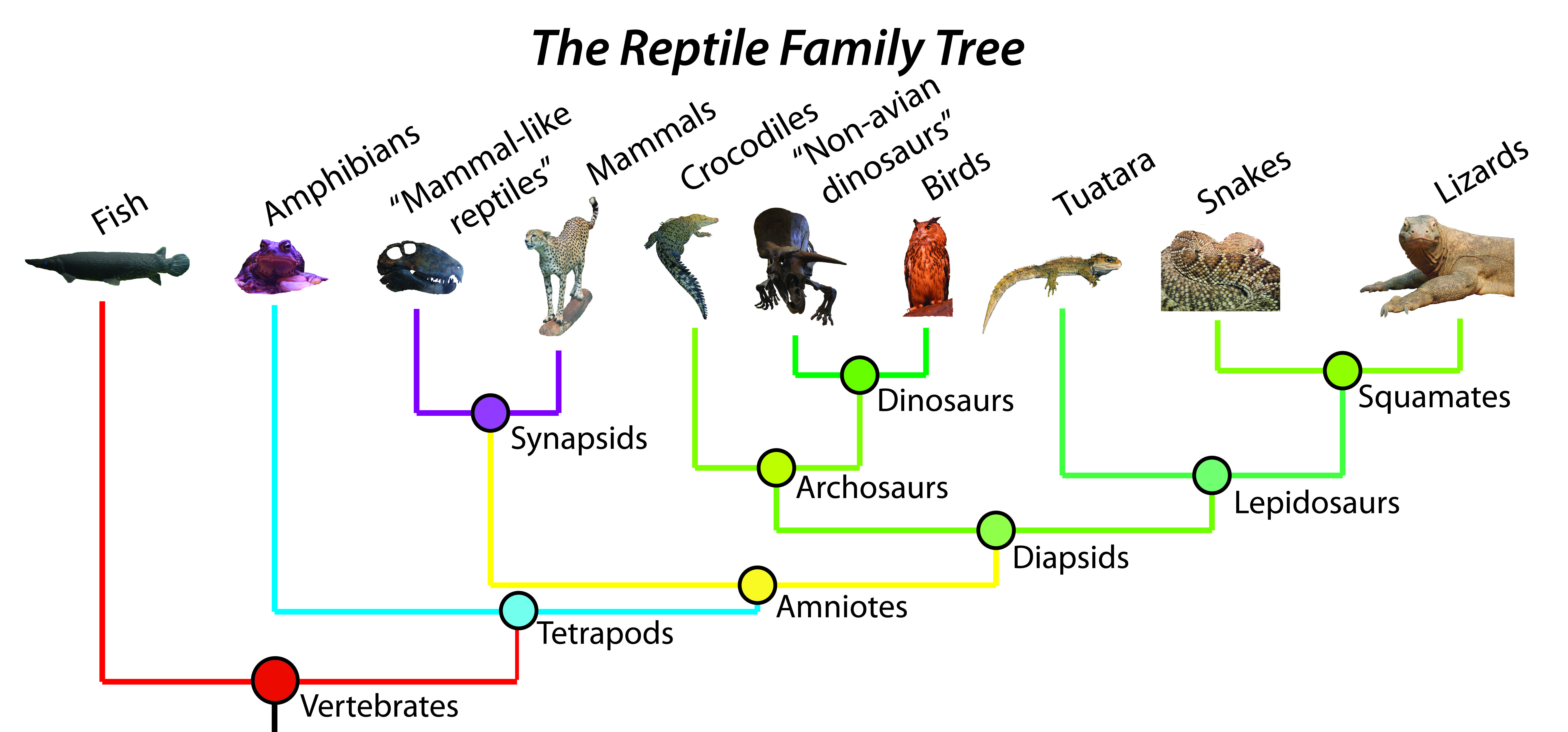 The Reptile Family Tree