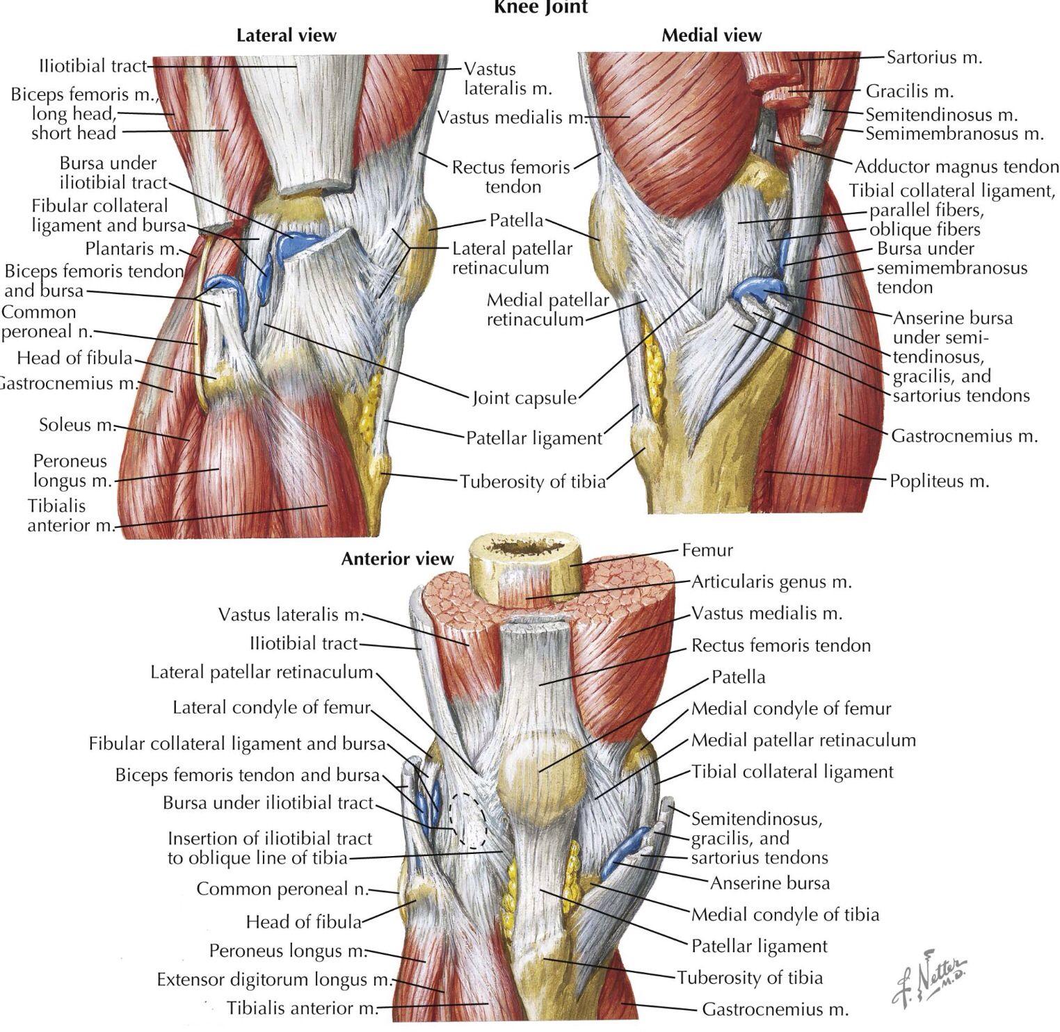 Multiple aspects of the knee - Netter | Anatomy | Pinterest