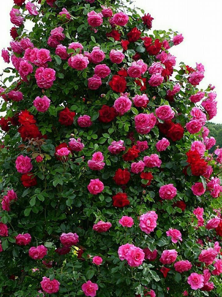 Alegra el jardín con rosas | Beautiful roses, Climbing ...