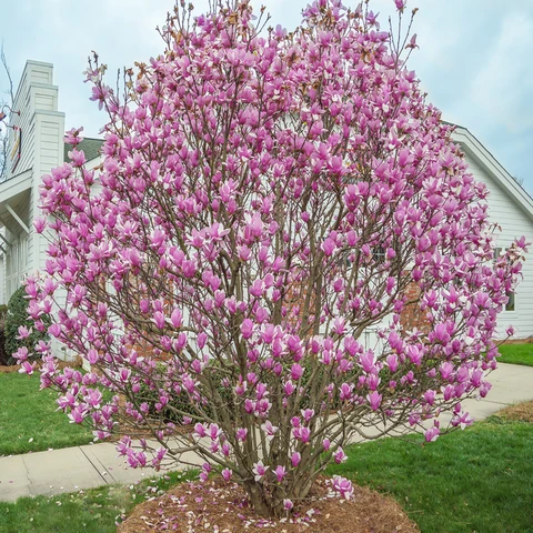 Jane Magnolia In 2020 Jane Magnolia Tree Jane Magnolia Magnolia Trees