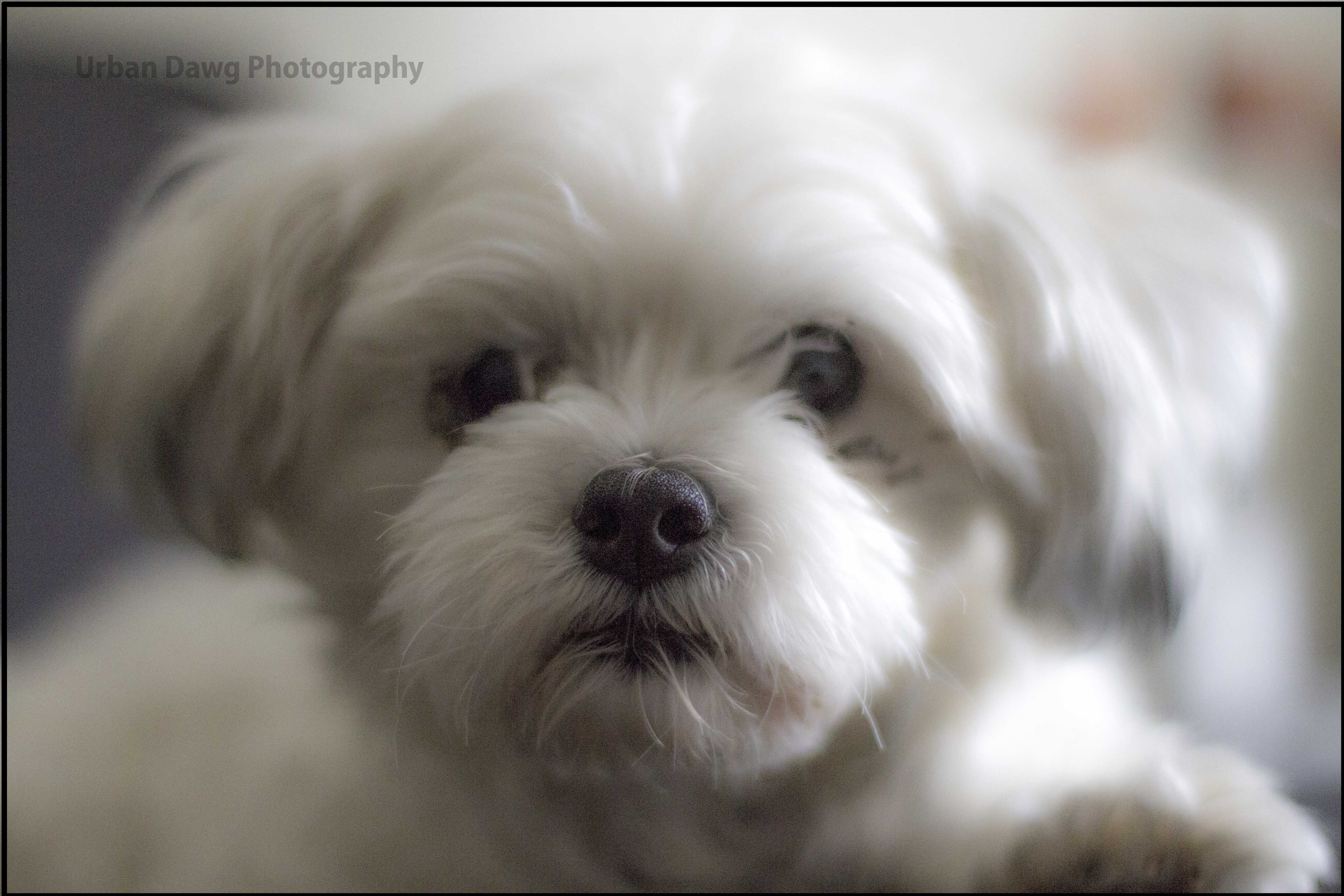Cute Little Maltipoo Ready To Go In Mississauga Peel Region
