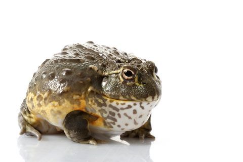 Pixie Frog For Sale Frog African Bullfrog Cute Frogs